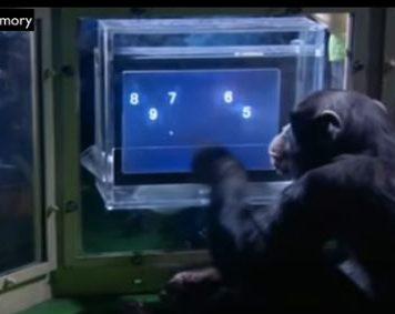 Chimp Vs Human
